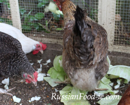 Our chickens are enjoying white cabbage leaves